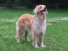 berger allemand golden retriever