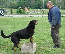 dressage chien berger allemand